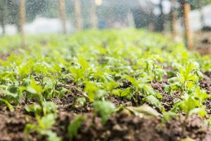 How to prepare the garden soil for planting vegetables