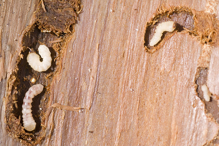 How to get rid of woodworms
